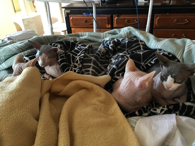four sphynx cats on a bed