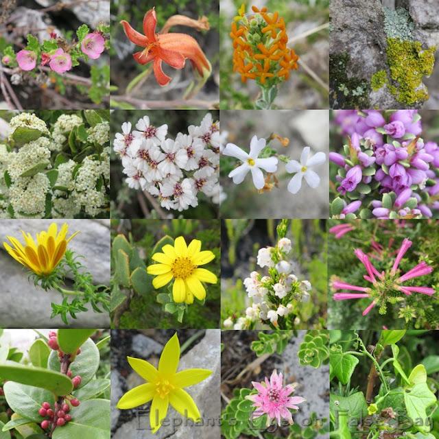 Gifkommetjie April flowers