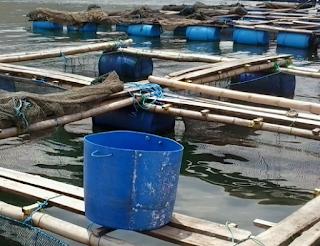 Polkadot Grouper atau ikan kerapu napoleon  Kabar Terbaru- BUDIDAYA KERAPU DENGAN KJA