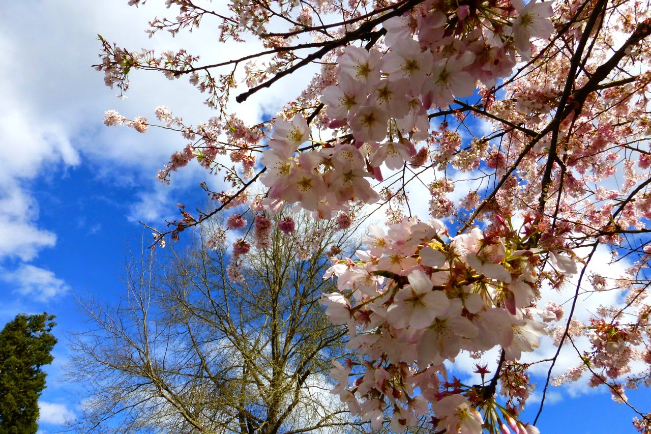 ume hanami, first day of spring, under a plum blossom tree, plum blossoms, pink plum blossoms, pink blossoms, blue sky