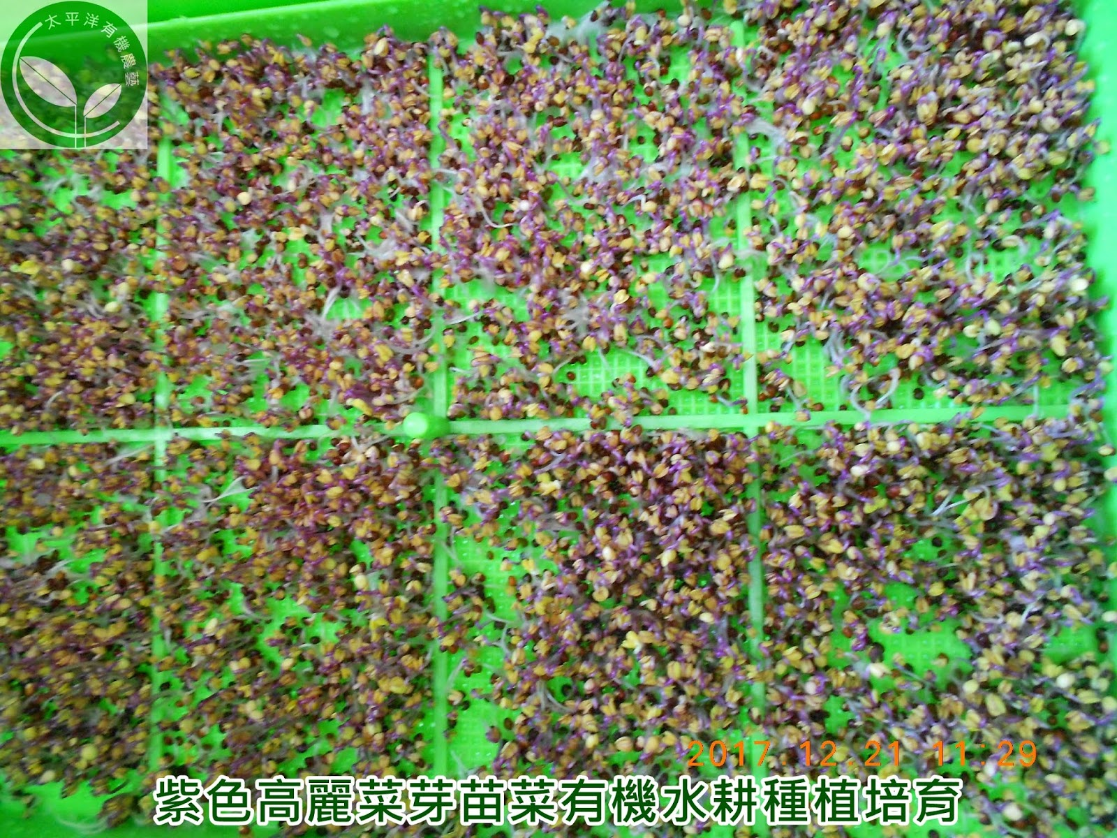 紅高麗,紫高麗菜,紫色高麗菜,紫色甘藍菜,紫高麗菜食譜,紫高麗菜營養,紫椰菜好處,紫甘藍菜,高麗菜種子哪裡買,紅高麗菜