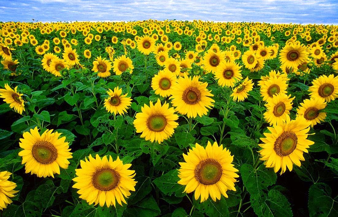 Klasifikasi Dan Ciri Ciri Bunga Matahari Gambar Gambar Bunga
