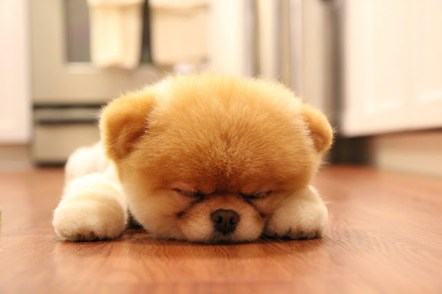 10 Adorables razas de perros creadas por humanos