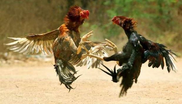 Hasil gambar untuk 3 Teknik Melatih Ayam Bangkok Aduan