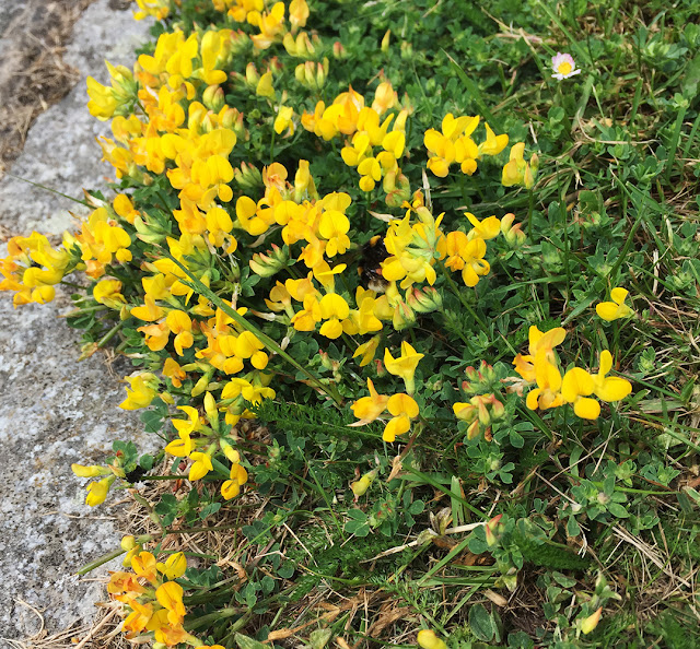 Bird's-foot Trefoil, Lotus corniculatus.  Chapell Green, Crowborough, 3 June 2017.