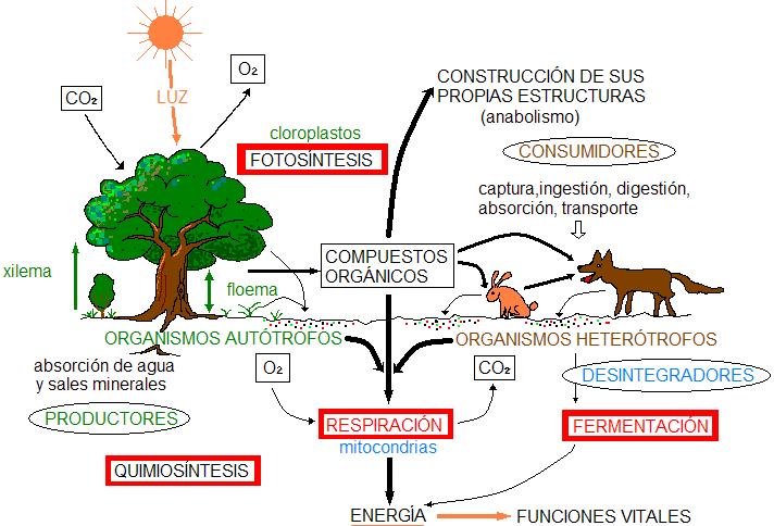 CURIOSIDADES CIENTÍFICAS : Metabolismo. Resúmen de los..