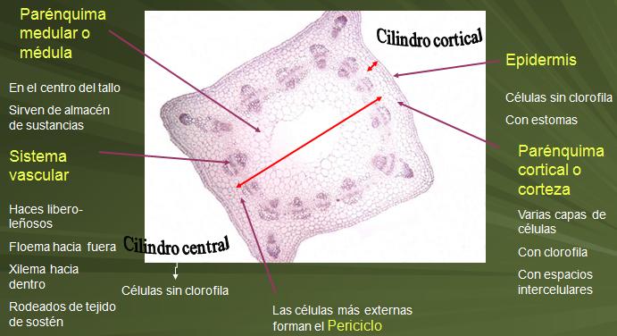 Histología Y Organografía Vegetal Estructura Interna Del Tallo