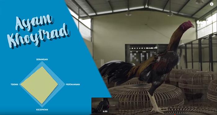 karakteristik ayam khoytrad