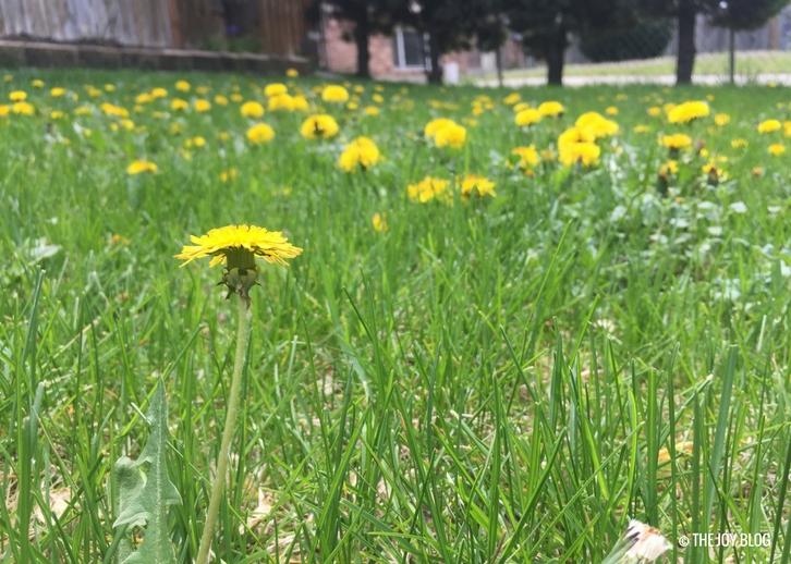 Dandelions // Garden Updates: Mid-Spring 2018 // www.thejoyblog.net