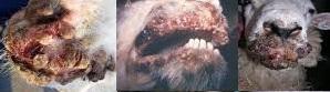 Macam - Macam Penyakit Kudis, Gejala Klinis Penyakit Kudis Pada Ternak Domba, Cara Mengobati Penyakit Kudis Pada Ternak Domba dan Cara Pencegahan Penyakit Kudis Pada Domba.
