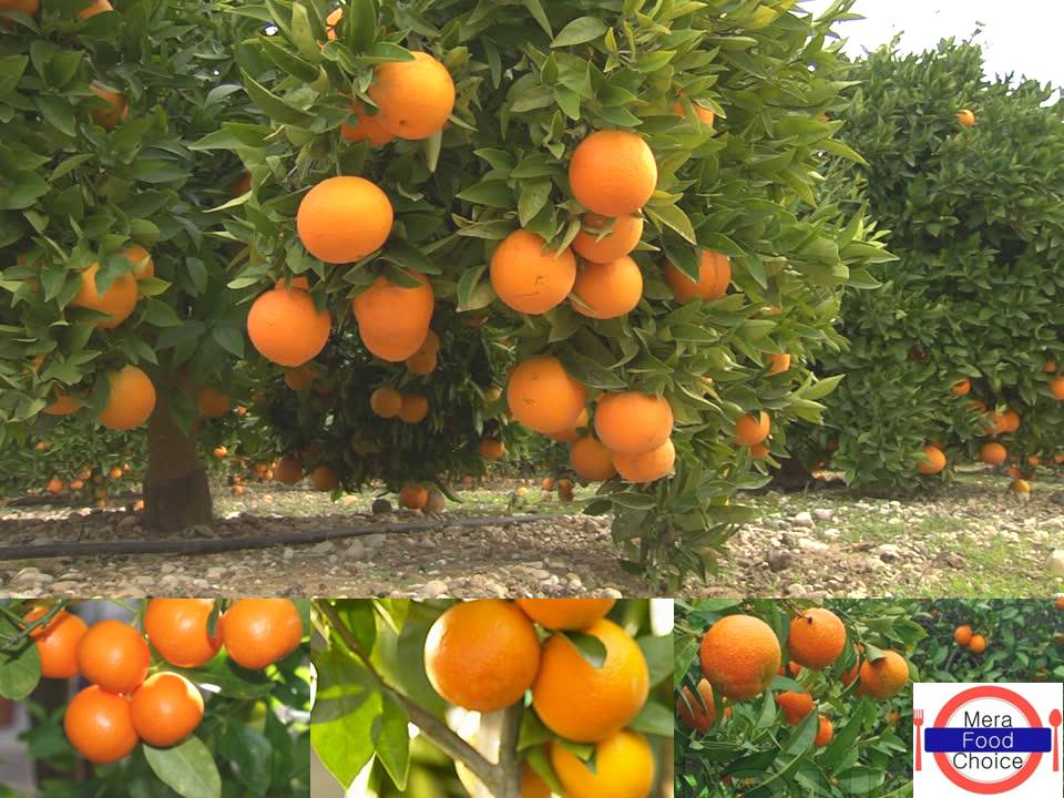 orange cultivation in india pdf