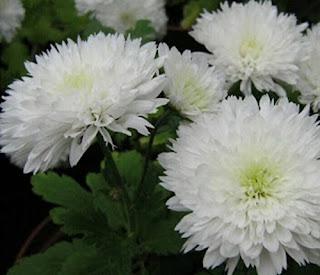 bunga-krisan23