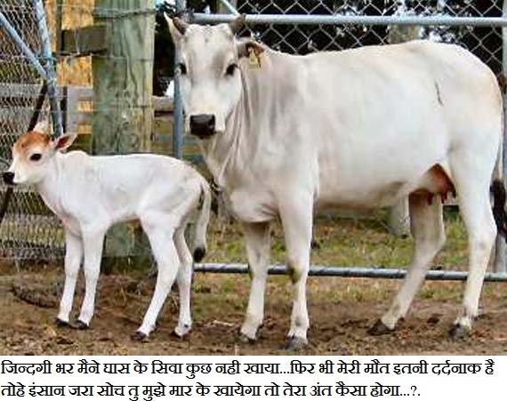 Plz Save Cow