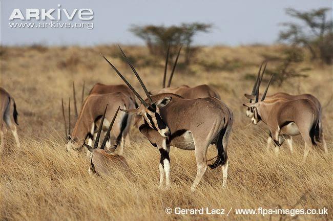endangered oryx