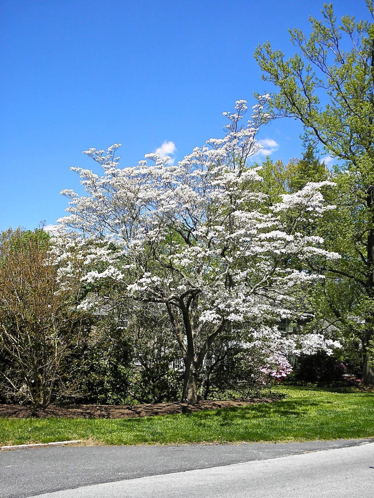 what does a dogwood tree look like