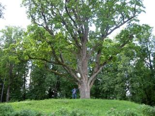 Уединённый дуб и более молодые деревья в Тригорском