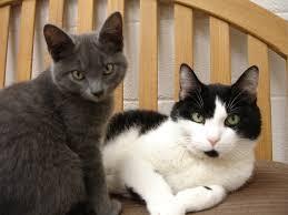 Kucing rumah