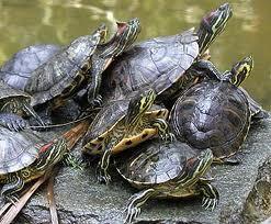 Mondo dei rettili gestione delle trachemys specie for Vaschette tartarughe