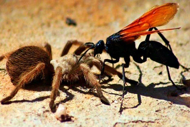 Tarantula Şahini adından da anlaşılacağı üzere Tarantulagiller familyasında bulunan örümcekleri avlayan bir çeşit eşek arısıdır.