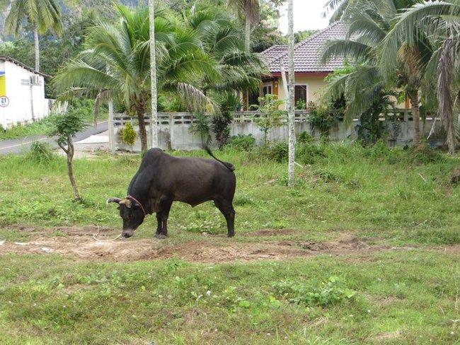 Маленький бык черного цвета