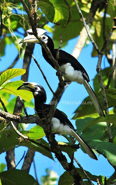 Sabah Oriental Pied Hornbills