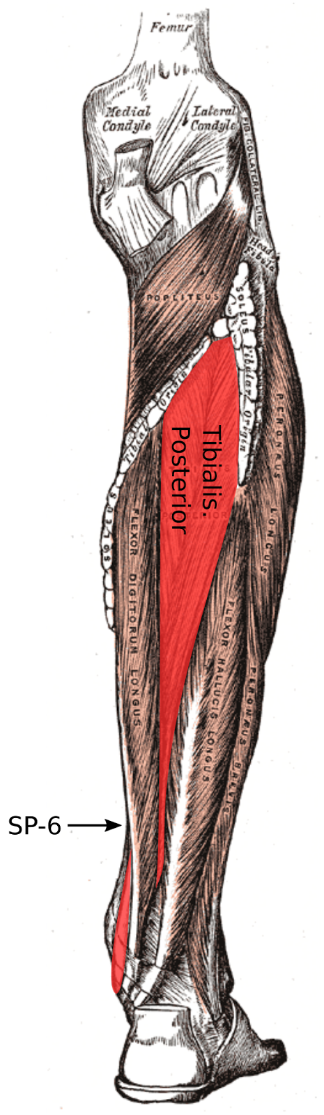 Anatomy of the Sinew Channels: The Fascial Slings of the Foot and ...