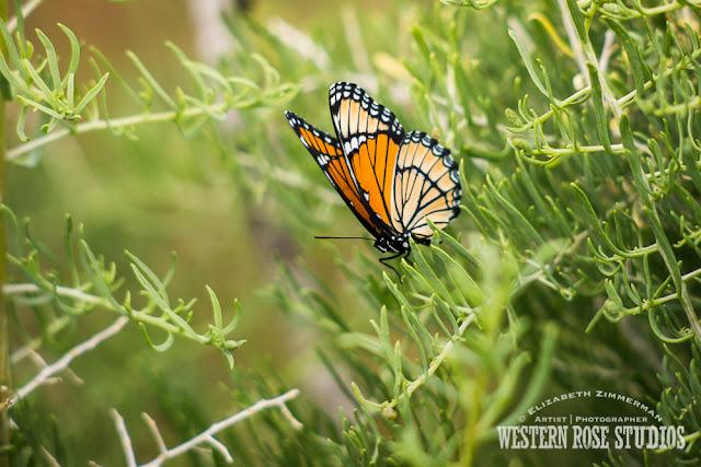 Monarch Butterfly | WesternRoseStudios © Elizabeth Zimmerman