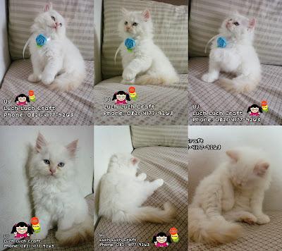 Jual kucing persia medium sidoarjo-surabaya