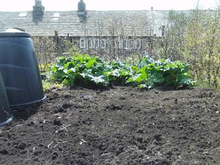 gardening, life on pig row, raspberries