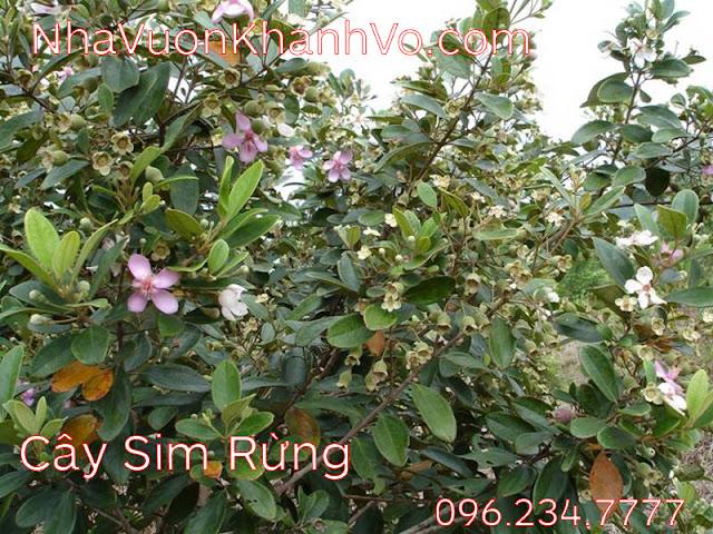 Đăng tin rao vặt: Những công dụng tuyệt vời mà Sim Rừng mà bạn nên biết Cay-sim-rung-khanh-vo