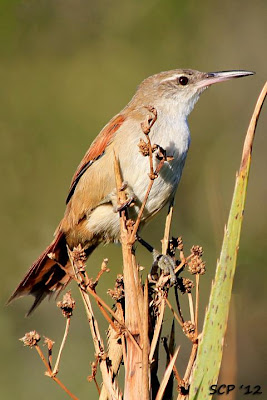 aves en peligro de Argentina Pajonalera pico recto Limnoctites rectirostris
