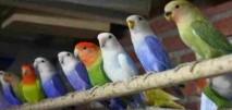 Cara Mengatasi Mental Burung Lovebird yang Sering Stress