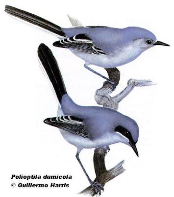 nido de Tacuarita azul Polioptila dumicola
