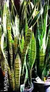 Picture of Snake plants