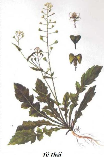 Cây Tề Thái- Capsella bursa pastoris - Nguyên liệu làm thuốc Chữa Cảm Sốt