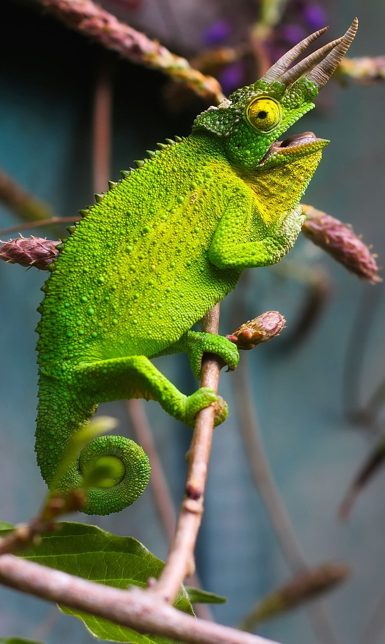 The three horned Jackson's or Kikuyu chameleon.