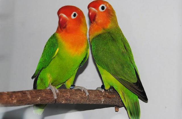 Nyasa Lovebird