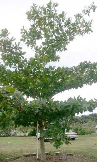 Aneka Pohon Pelindung Murah Glodogan Tiang Biola