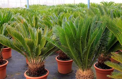 Tukang taman surabaya tanaman hias sikas