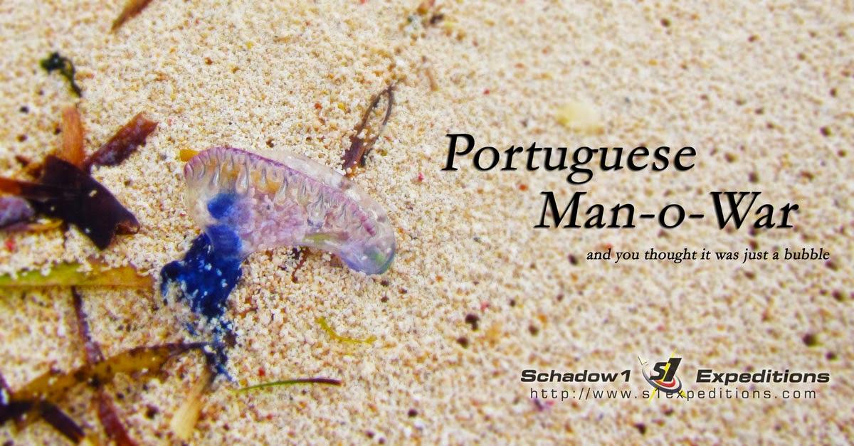 Portuguese-man-o-war on Dako Island, Siargao - Schadow1 Expeditions