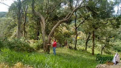 Bizzarri visitando um terreno onde vamos fazer a construção de uma casa, sendo um terreno em condomínio em Atibaia-SP. Um terreno com várias árvores nativas de Jacarandá, provavelmente um Jacarandá de uns 80 a 100 anos. Uma árvore nativa de lei, sendo uma madeira de cor vermelha e muito dura. Uma madeira de lei que foi muito usada na fabricação de móveis como armários de madeira, mesa de madeira, cama de madeira... Árvore nativa em extinção. 09 de maio de 2017.