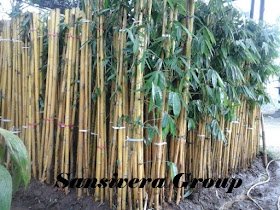 Pohon Bambu Panda Kuning