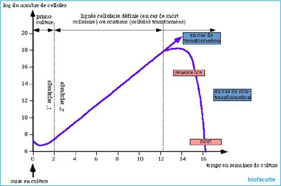 culture cellulaire
