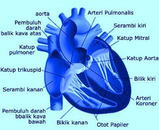 merupakan organ yang sangat penting bagi kehidupan insan Materi Sekolah |  Pengertian dan Fungsi Jantung