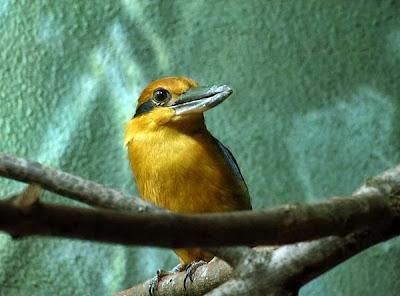 Alción micronesio Todiramphus cinnamominus