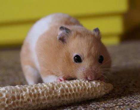 Animals Unique: Hamster