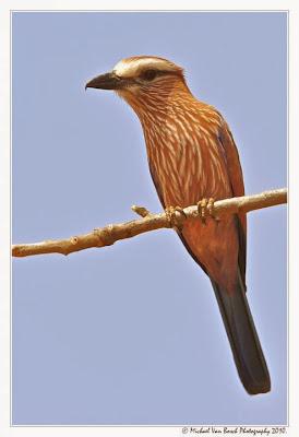 Carraca corona parda Coracias naevius
