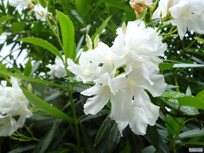夾竹桃(白)