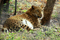 12 to 14 thousand Leopards in India