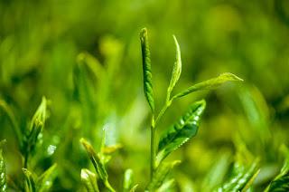 Benifits of green tea